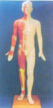 中醫針灸模型|半皮膚人體針灸模型(170CM ) GD-0401B