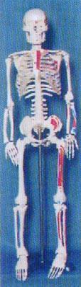 人體解剖模型|85CM人體骨骼半邊肌肉著色並編碼模型 GD-0114H