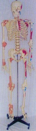 解剖模型|168CM高人體骨骼右關節韌帶左邊肌肉著色並編碼模型 GD0101G10