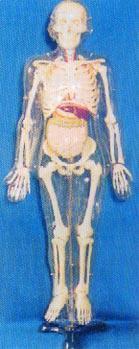 人體解剖模型|85CM人體骨骼帶內髒模型 GD-0113E