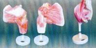 上肢帶深層肌模型|上肢帶深層肌模型 SMD041