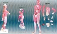 人體淺層運動肌肉解剖模型|上海红杏视频app下载科教設備有限公司 SMD047A