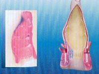 直腸內腔|上海红杏视频app下载科教設備有限公司 SMD052