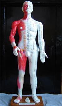 半皮膚人體針灸模型(十四經穴模型84CM)|上海红杏成版人app下载科教設備有限公司  H012