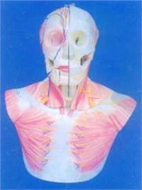人體解剖模型|自然大頭、頸部層次解剖附腦N.A模型 GD-0305
