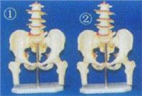 人體解剖模型|**女性盆骨附五節腰椎和半腿骨模型 GD-0170N