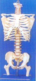 人體解剖模型|大型**帶後枕骨、脊椎、椎間盆、髖骨等豪華掛座模型 GD-0152B