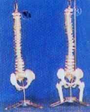 人體解剖模型|小型硬(軟)脊椎帶盆骨、半腿骨掛座豪華模型 GD-0146B/GD0146D