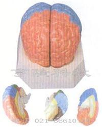 解剖红杏成版人app下载模型|大腦分葉模型 GD/A18204