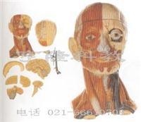 私人红杏影院hxsptv在线观看教學模型|頭頸部肌肉與血管附腦模型 GD/A18211