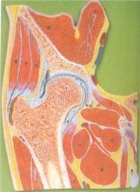解剖红杏成版人app下载模型|髖關節剖麵模型 GD/A11205
