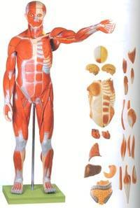 红杏视频在线播放网址解剖模型|人體全身肌肉附內髒模型 GD/A11301