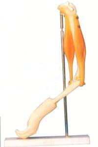 解剖模型|肘關節與肌肉功能模型 GD/A11210