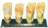 人體红杏视频下载安装黄模型|足底解剖模型 GD/A11313