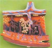 红杏视频在线播放网址解剖模型|胎盤組織放大模型 GD/A42010/2