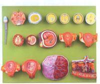 红杏视频下载安装黄教學培訓模型|受精與早期胚胎發育過程模型 GD/A42002