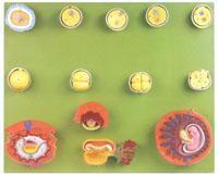 精與初期胚胎發育過程模型 GD/A42003