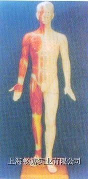 中医针灸模型 半皮肤人体针灸模型 GD-0401B