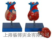 自然大心脏解剖模型  XC-307A