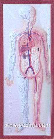 医学模型|医教模型|人体循环系统浮雕模型 CLM-2079-5