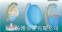 男性内生殖器模型|睾丸放大解剖模型 SMD0651