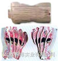 人体影像断层模型|人体躯干矢状断断层解剖模型 SMR05
