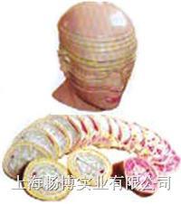 人体断层解剖模型|人体头颈部横断断层解剖模型 SMR01