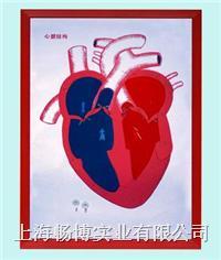 心脏模型|心脏解剖(示血液流向)浮雕模型 CLM2079-14