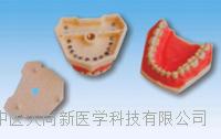 仿真標準牙模型 SX-625