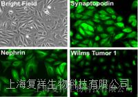 RAW264.7 小鼠膠質瘤細胞 TIB-71